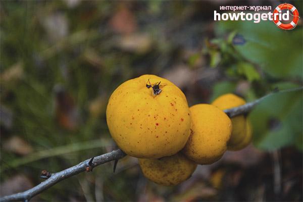 Fruits de coing mûrissant