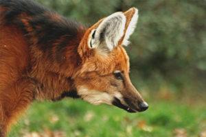 Loup crinière