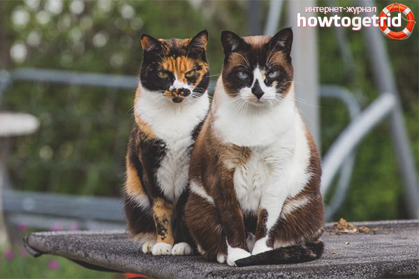 How are tricolor cats in other countries