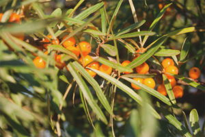 When to collect and how to dry sea buckthorn leaves