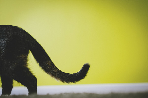 The cat's bald tail